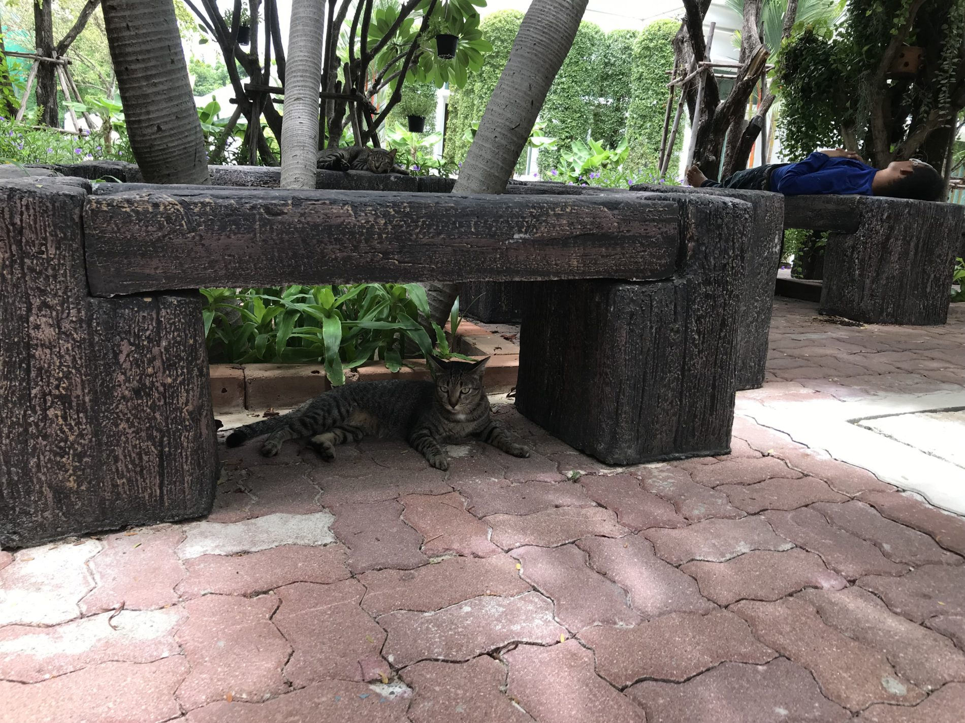 ワットパークナム 猫